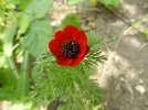 Adonis annua, 2012_07_21, Courcôme, Albert & Monique BRUN
