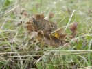 Mercure_Petit Agreste (Arethusana arethusa), 14_08_2014, Coulgens, Albert (...)